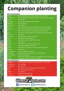 Companion planting, good combinations, bad combinations